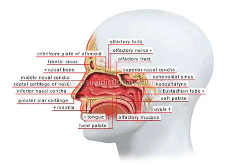 anatomy of human nose nose human anatomy organs template baldaivirtuves info human sense organs smell and taste nasal fossae image visual dictionary