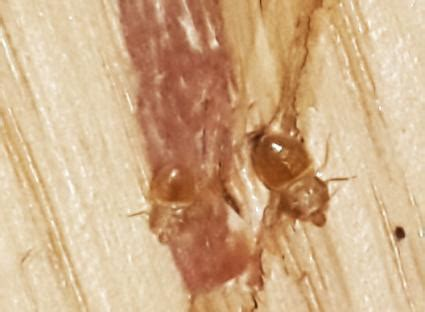 bed bug carcass bed bug treatment lovetoknow