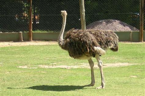 foto avestruz fotos zoologico de la ciudad de buenos aires