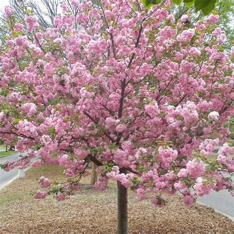 9 cherry tree buy kwanzan cherry tree free shipping 99 99