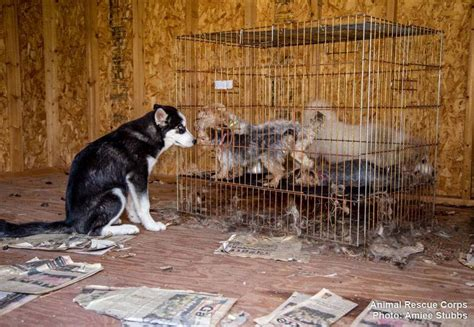 colorado puppy mill rescue gibson co deputies investigate possible puppy mill 45 puppies rescued wbbj tv