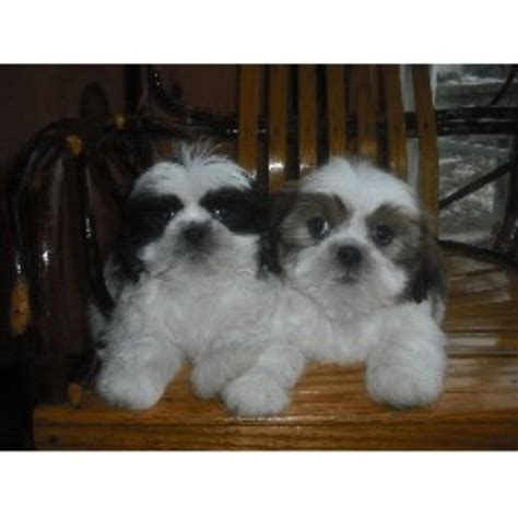 new york shih tzu breeders purina commercial newfounland breeds picture
