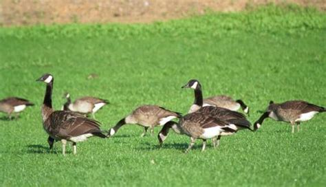 how to deal with problem canada goose in west virginia