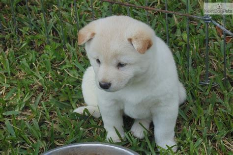 shiba inu puppies florida shiba inu puppy for sale near south florida florida c5ffe6da b521