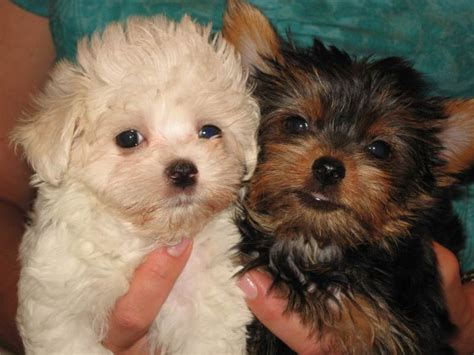 maltese puppies for sale los angeles maltese puppies for sale los angeles ca breeds picture