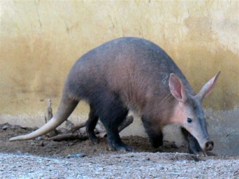 aardvark aardvarks african antbear cape anteater orycteropus afer images