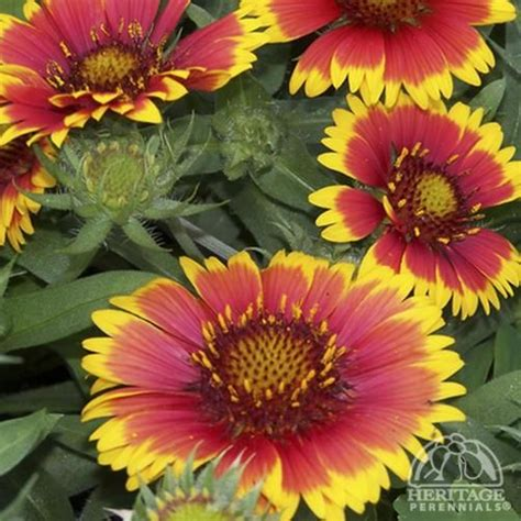 anna s perennials fall flowering perennials plant profile for gaillardia arizona sun blanket