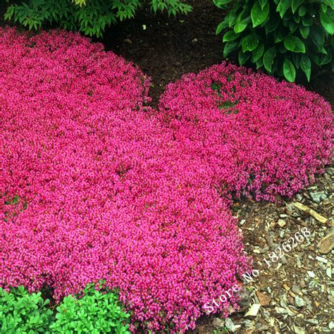 Bibit Benih Seeds Creeping Thyme For Ground Cover flower seeds creeping thyme seeds or blue rock cress seeds perennial ground cover garden