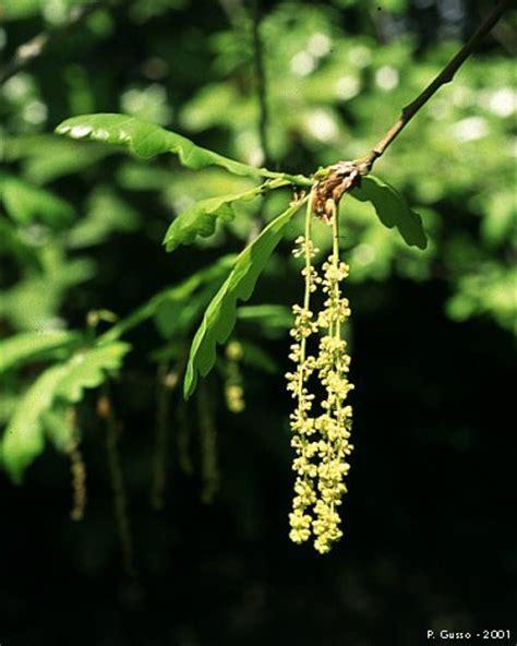 fiori maschili farnia fiore maschile