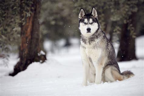 the siberian husky golden retriever husky mix information images and