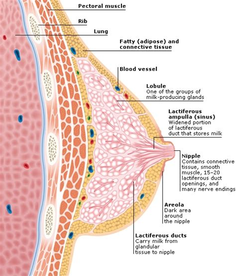 cross section of breast female reproductive system credo reference