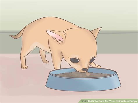 what age does a go into heat how to care for your chihuahua with pictures wikihow autos post