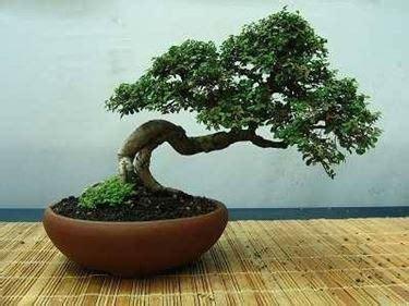 vaso da bonsai vasi per bonsai bonsai