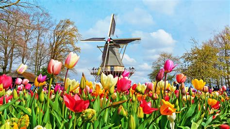modern day tulip mania   netherlands tulip trail