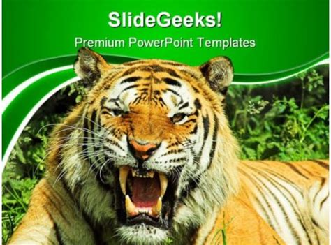 tiger snarl animals powerpoint templates  powerpoint
