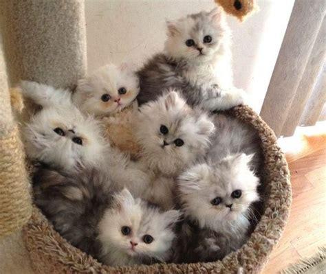 cuccioli di gatti persiani gatto chinchilla caratteristiche