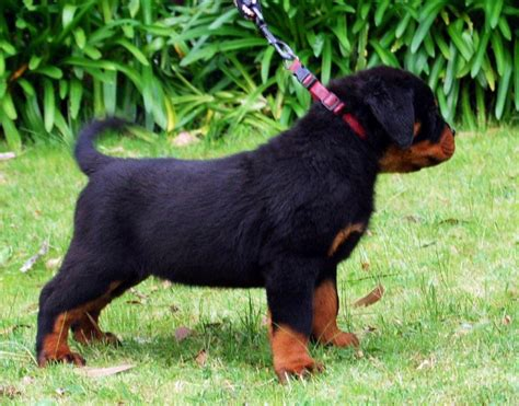 rottweiler puppies for sale vic rottweiler puppies for sale how much dogs our friends photo