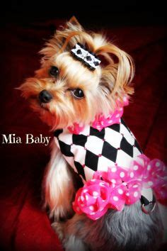yorkies in clothes terrier on yorkie terrier and dresses