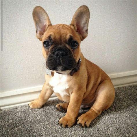 brown bulldog puppies applehead chihuahuas brown bulldog puppies