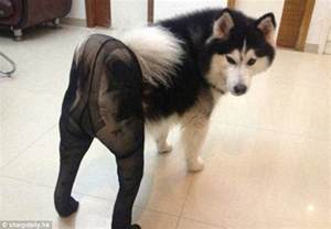 Pantyhose Meme - paws in pantyhose disturbing new craze for dressing dogs