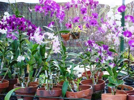 Bibit Anggrek Impor pembibitan tanaman hias di indonesia belum maksimal