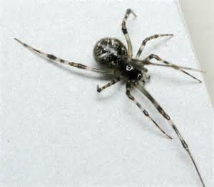 basement spider parasteatoda tepidariorum bugguide net