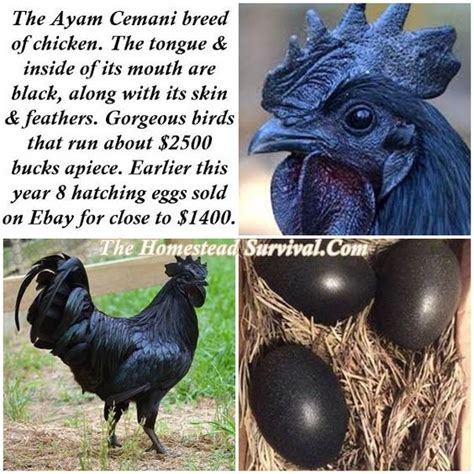 Mainan Ayam Bertelur The Funy Lay Egg Hen the ayam cemani breed of chicken homestead survival has been hacked and is not helping