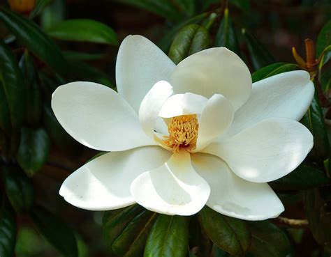 white magnolia you are divine