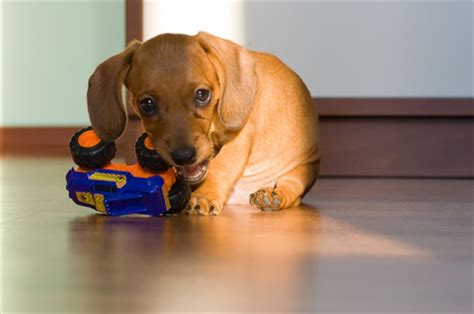 when does a puppy stop teething how does puppy teething last pets