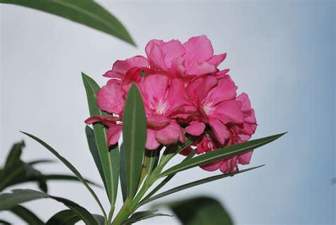 flower plants adelfa cainta plant nursery