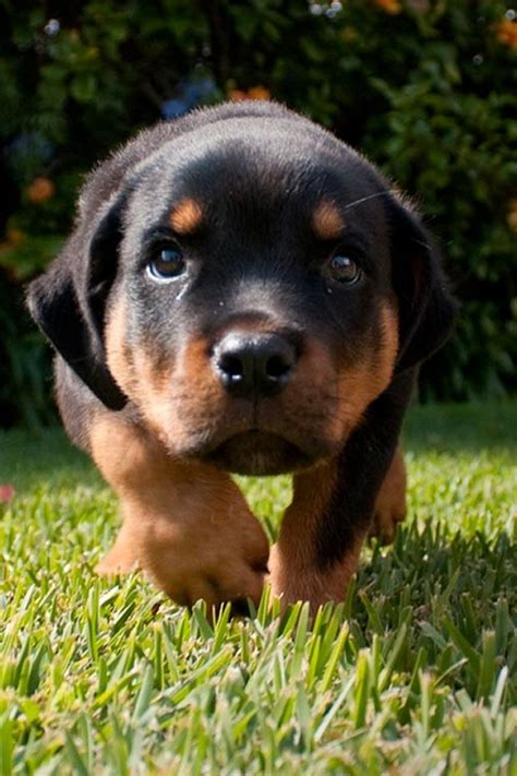 rottweiler and baby baby rottweiler animals