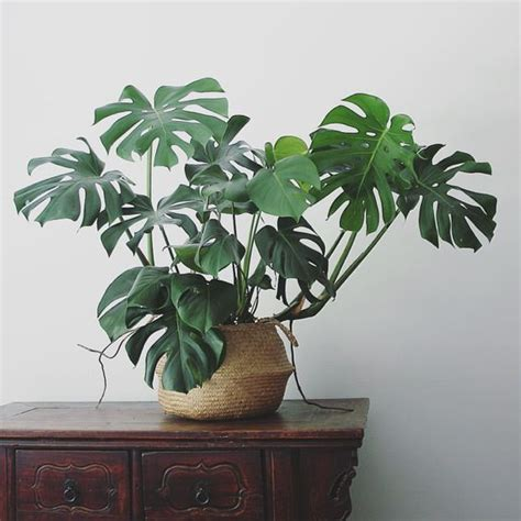 in door plants pot three four plants argements video monstera apartmentf15 169 my home decor pinterest