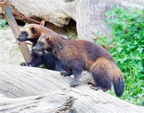 animals pictures picture 6 of 9 wolverine gulo gulo pictures images animals a z animals