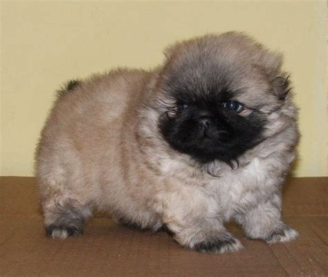 pekingese pug puppies 17 best ideas about pekingese puppies on pekingese dogs pekingese puppies