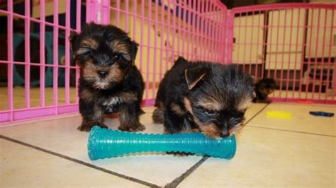 local yorkie breeders terrier puppies for sale near atlanta at puppies for sale