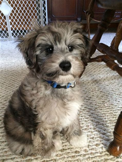 are havanese dogs hypoallergenic small hypoallergenic breeds havanese breeds picture