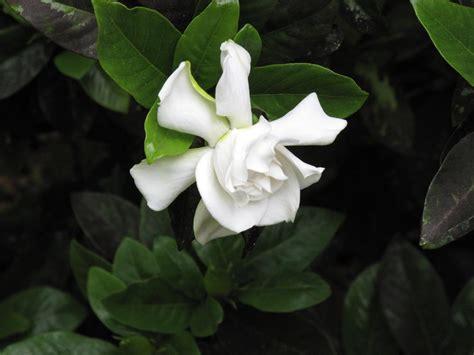 gardenias plant care  collection  varieties gardenorg