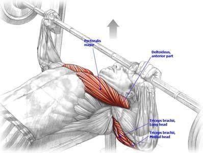 bench press muscles bench press for chest muscle diagrams pinterest