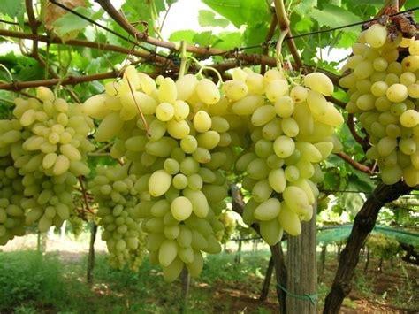 varieta di uva da tavola variet 224 uva da tavola uva uva da tavola variet 224