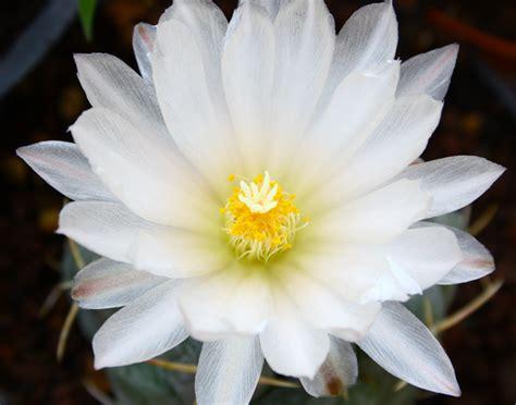 fiore bianco con pistillo giallo fiori 12mq pagina 15