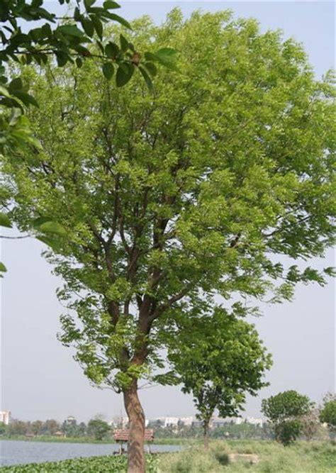Tree L by Mahogany Tree Information Learn About Mahogany Tree Facts