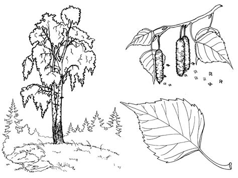 birch tree coloring page coloring page birch tree