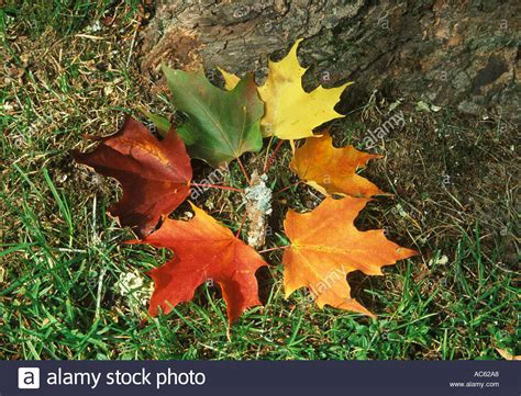 maple tree lifespan cycle of a sugar maple leaf with bark at the base of a sugar stock photo royalty free