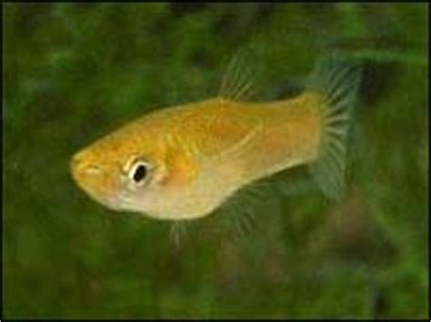 (feeder guppies for sale || guppies to groupers) (good