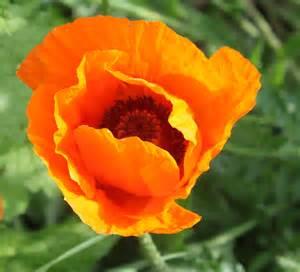 image gallery orange poppies