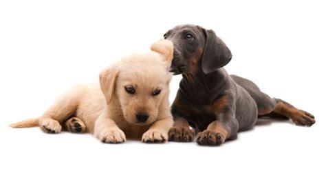 swimmer puppy understanding swimmer puppy