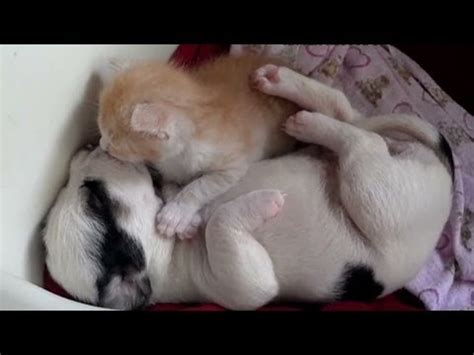 cuddling puppies cnn distraction kitten and puppy cuddling