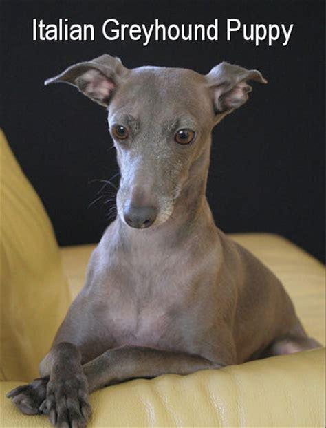 mini greyhound puppies lab greyhound mix puppies breeds picture