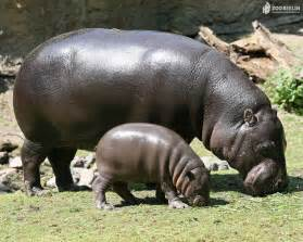 all about hippos hippopotamus latest profile and pictures all