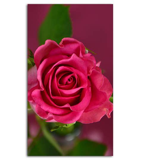 pink rose hd wallpaper   mobile phone spliffmobile